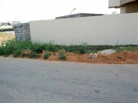 Strays dogs in Mysore, India