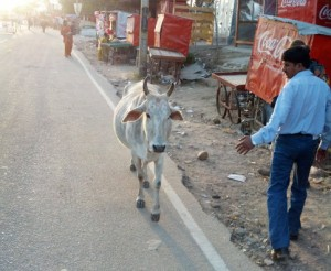 Temple cow #2