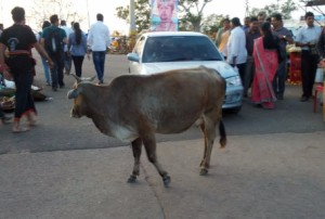 Temple cow #1