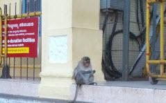 Temple monkeys